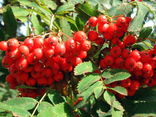 Rowan / mountain ash berries. Love the colour. This is about as sharp as my old Fuji 4900 got.