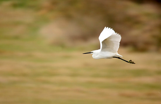 little egret wader bird nature wildlife