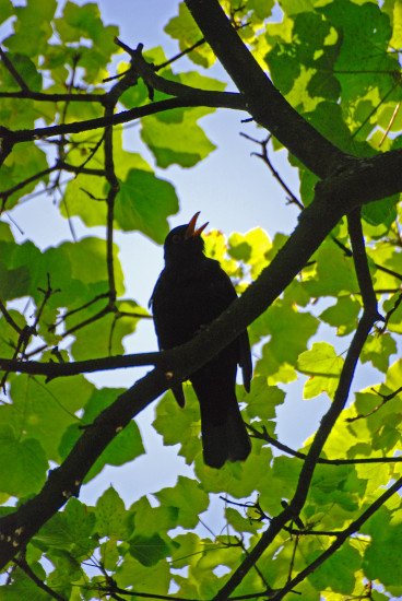 blackbird tree song