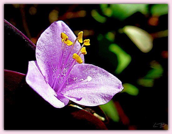 I have a little story about the 'purple wandering jew' plant that sends forth these little (2cm) ...