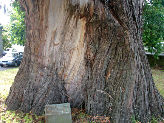 greytown midworlder tree