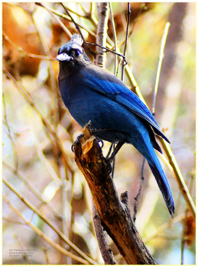 wildlife animals birds jays pankey wildspirit