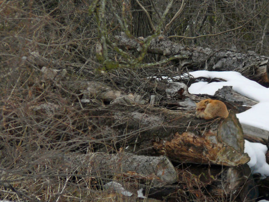 Foxie Loxie Our friend Patti told of seeing foxes in a cementery only a few hundred yards from t...