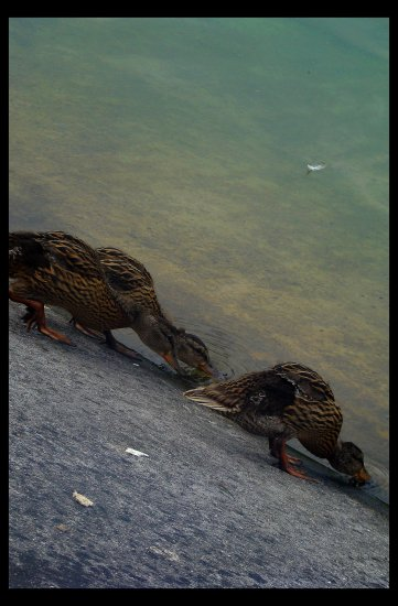 ducks green lake thirst
