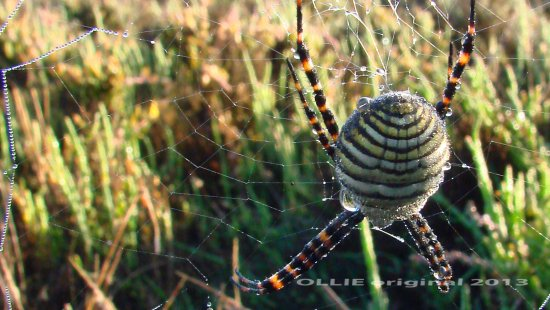 orb weaver family spider dewdrops rising sun morning perth hills littleollie