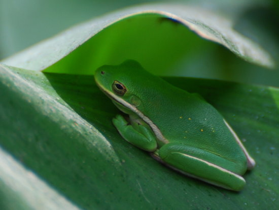 tree frog nature
