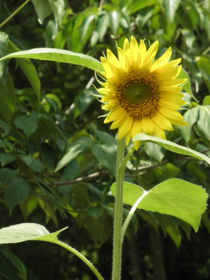 the sunshine of a sunflower
