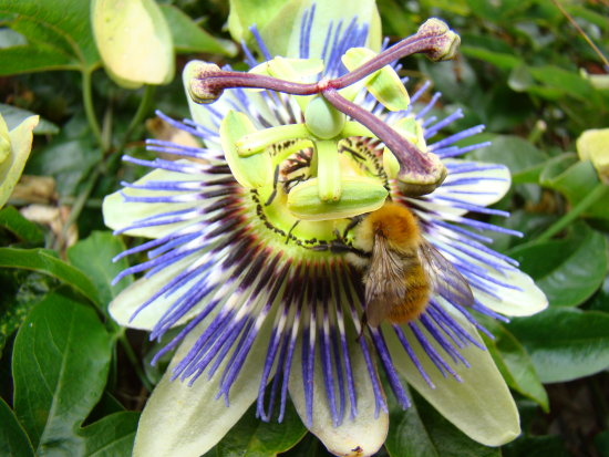 fuzzy bee passion flower summer