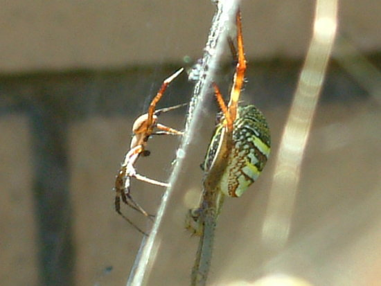 Side shot of a female Spider with one of her Young.