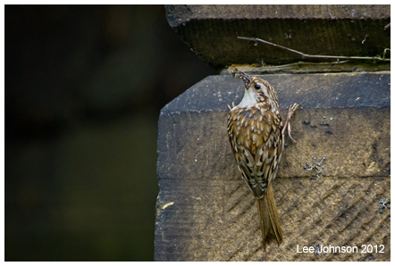 Natural History Wildlife Treecreeper Bird Spideyj