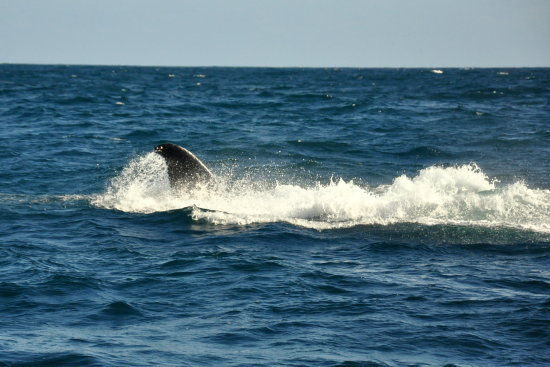 Atlantic ocean humpback whale