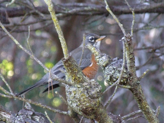 Today (Jan 8 2007) American Robin