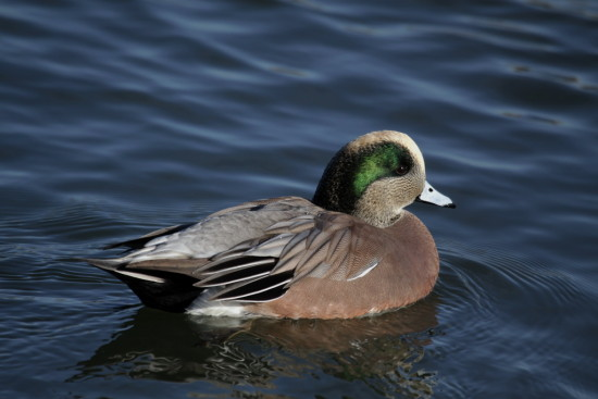 widgeon duck birds Reifel Delta BC Canada