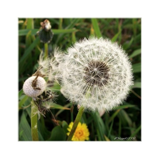 dandelion bloom flower weed