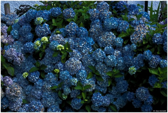 Blue Flowers Shrubs hydrangea Donegal