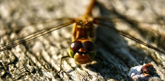 dragonfly insect bug wings eyes