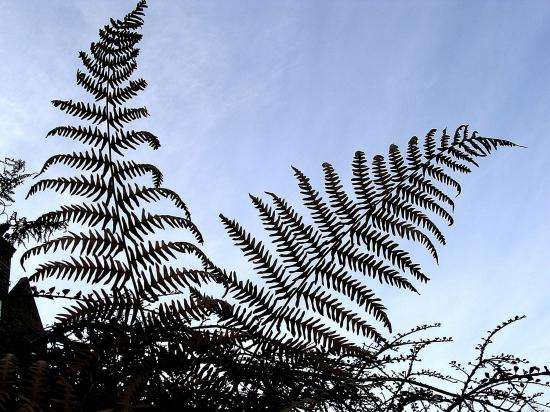 ferns dawn