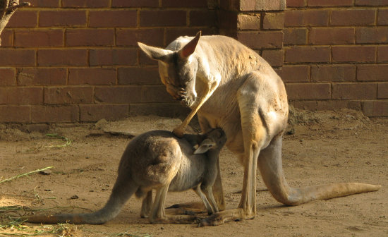 Mother and baby Kangeroo