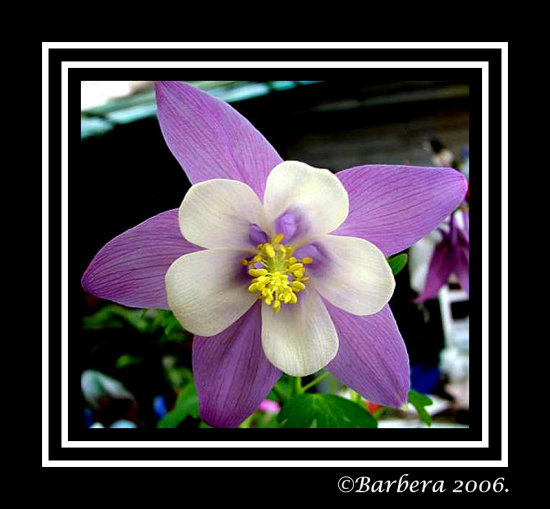 flower aquilegia nature chile
