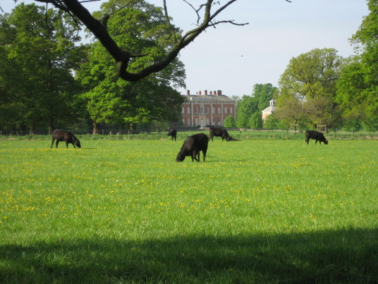 National Trust House Parkland Cattle
