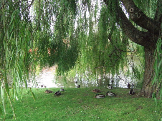 Chill Regents Park London ducks