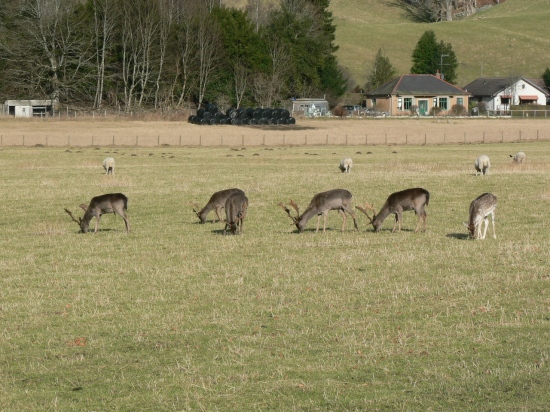 A rural scene at Dunkeld with some Red Deer.