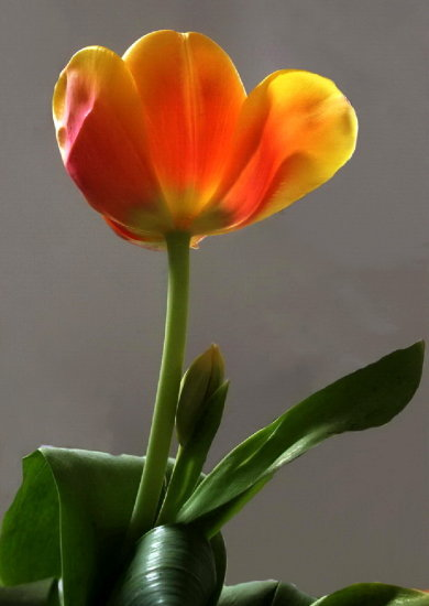 Tulip multi color light netherlands