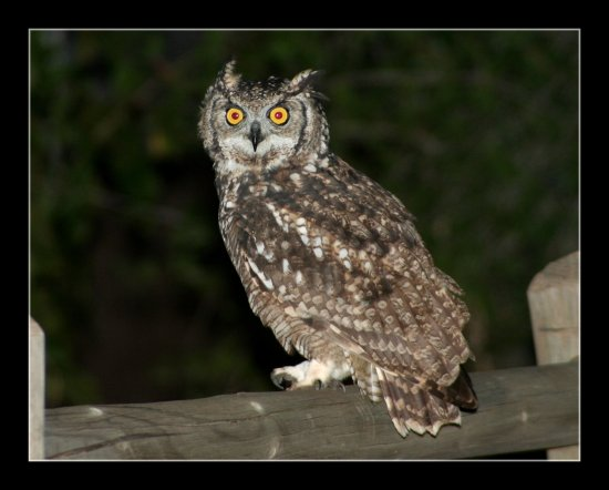 i saw this owl last-nite on my way home, he actaully came closer when i started taking photos !