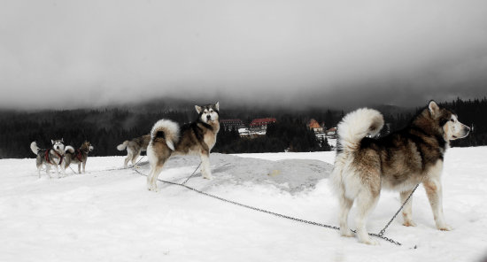 snow mountain dogs husky white sled dog racing together last trip