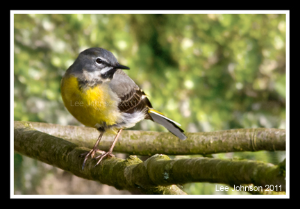 Wildlife Natural History Bird Grey Wagtail Spideylj