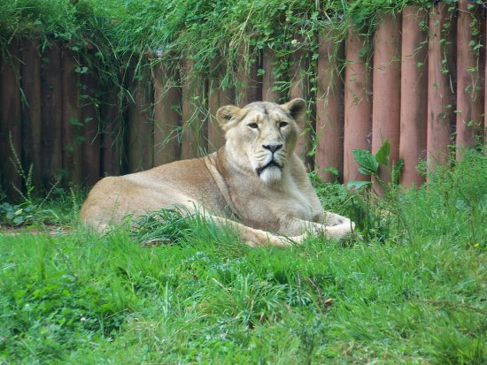 lion hunt hunting paignton zoo animal captive wild big cat