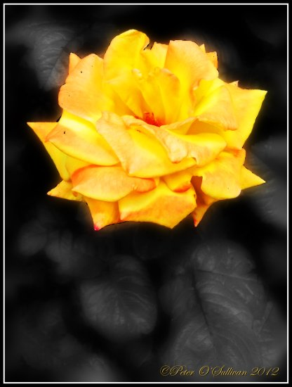 Rose Yellow Park Tralee Kerry Ireland