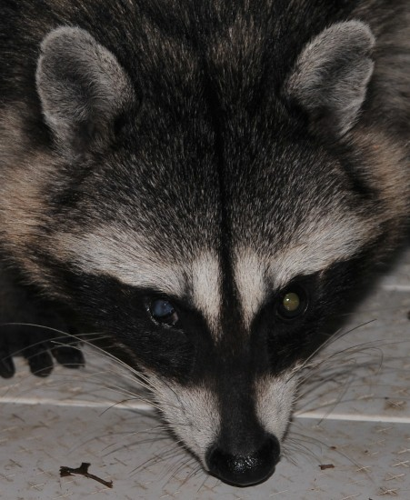 poor coon has an eye issue