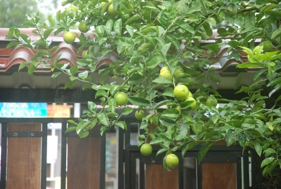 lemon tree fruit leaves