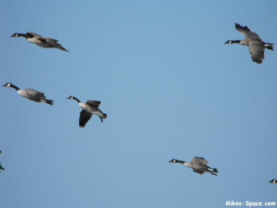 geese goose flying flight bird birds waterfowl