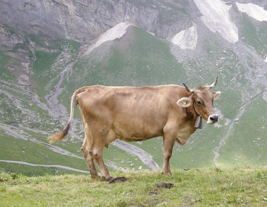 Switzerland cow mountains