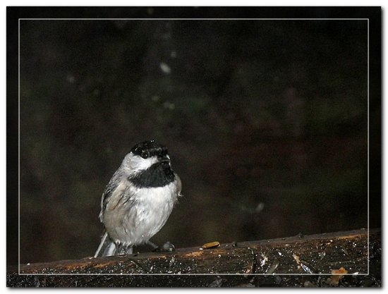 chickadee bird feeder nature