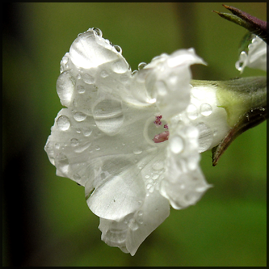 whitestar morningglory white flower dew raindrops