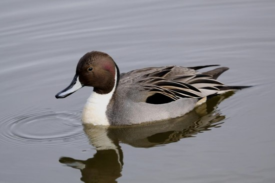 NorthernPintail Pintail Duck Reifel Bird Sanctuary Delta BC Canada Bird