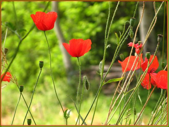 flowers poppies nature France summer country field red