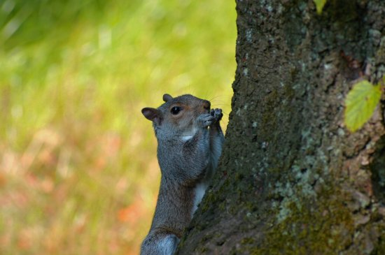 grey squirrel park d60