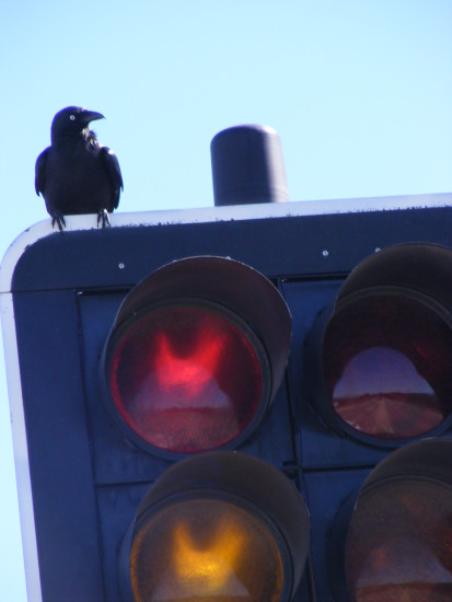 crow raven bird animal traffic light
