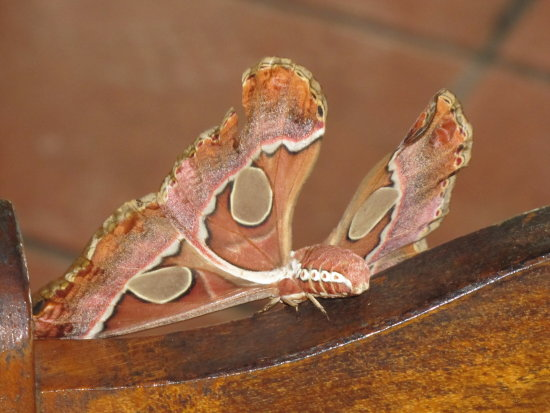 Costa Rica nature moth