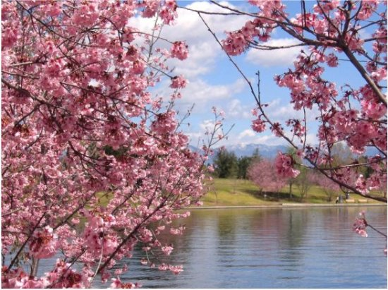 cherry trees usa