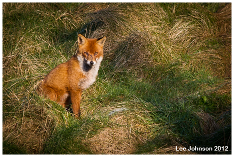 wildlife fox animal natural history spideyj