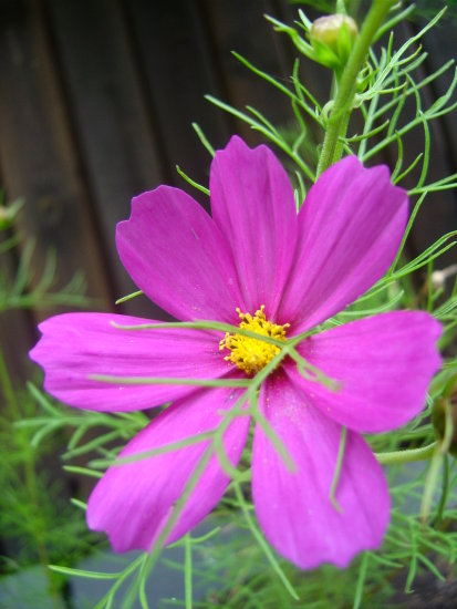 pink fucsia flower