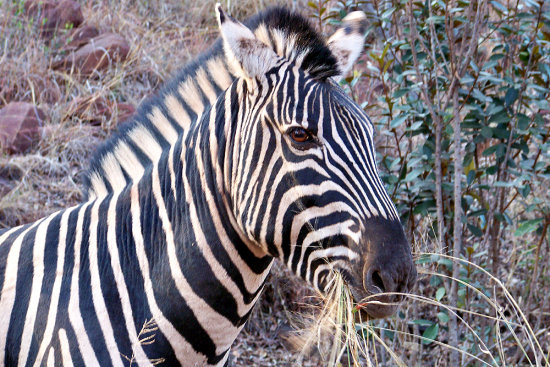 Zebra on Zyndrandt Game Farm Waterberg Mountain Range Limpopo South Africa