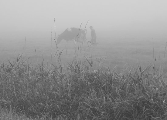fog country cow farmer