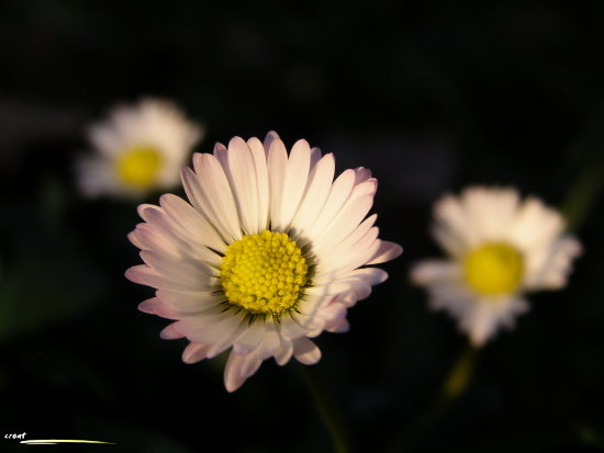 daisy flower light