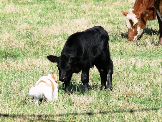 note Gus checking the calf out...mama in background...then look at next picture